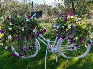 Zdjęcie białego roweru będącego kwietnikiem dla pelargonii.